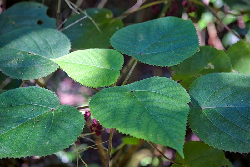 the suicide plant