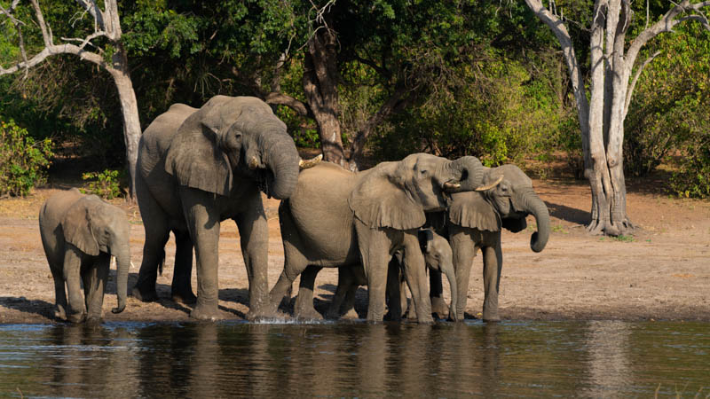 chobe national park Elephant Drinking