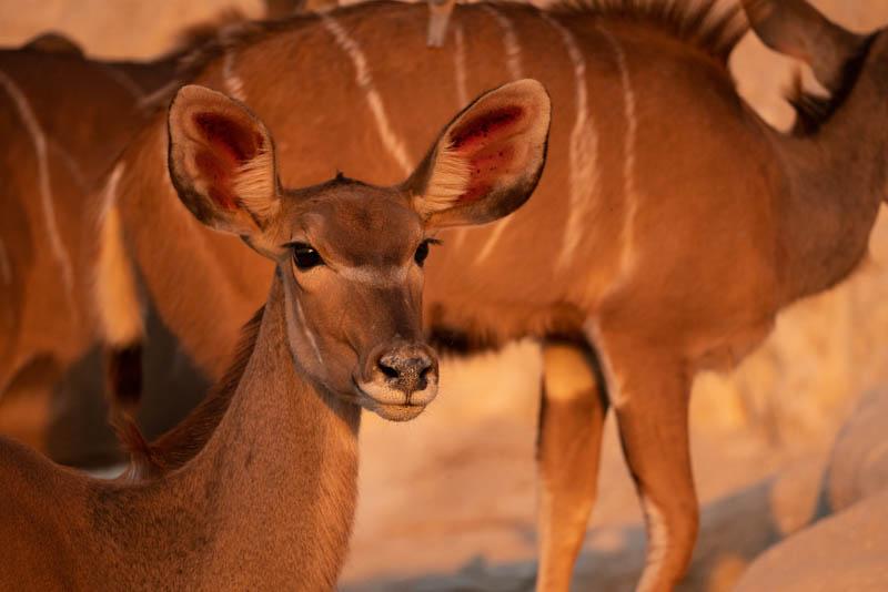 chobe national park Kudu
