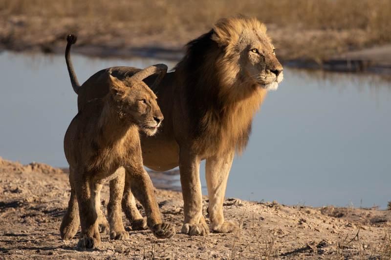 chobe national park lions