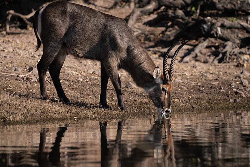 chobe national park water buck