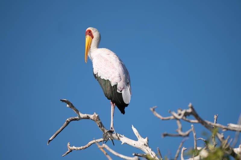 chobe national park yellow billed stork